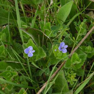 Photographie n°1486566 du taxon Veronica chamaedrys L. [1753]