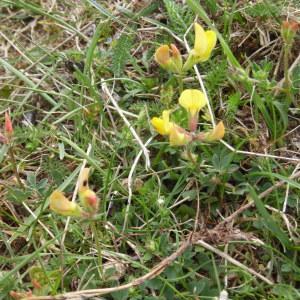 Photographie n°1486752 du taxon Lotus L. [1753]