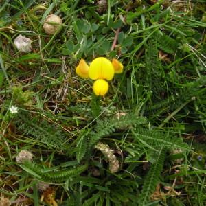 Photographie n°1486755 du taxon Lotus L. [1753]