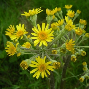 Senecio paludosus L. (Séneçon des marais)