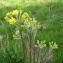 Sylvain Piry - Tephroseris helenitis subsp. helenitis