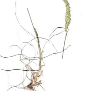 Koeleria arenaria (Dumort.) Ujhelyi (Koelérie maritime)