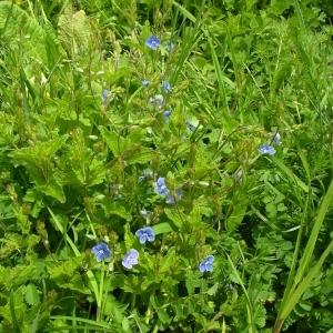 Photographie n°1495567 du taxon Veronica chamaedrys L. [1753]