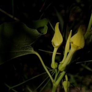 Aristolochia clematitis L. (Aristoloche clématite)