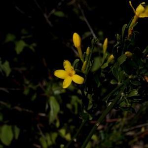 Photographie n°1495973 du taxon Jasminum fruticans L. [1753]
