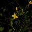 Arthur Sanguet - Jasminum fruticans L. [1753]