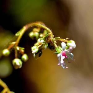 Photographie n°1498626 du taxon Saxifraga hirsuta L. [1759]