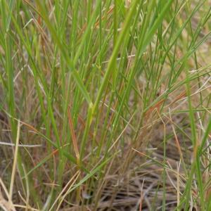 Photographie n°1499981 du taxon Brachypodium retusum (Pers.) P.Beauv.