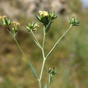Photographie n°1500504 du taxon Linum strictum L.