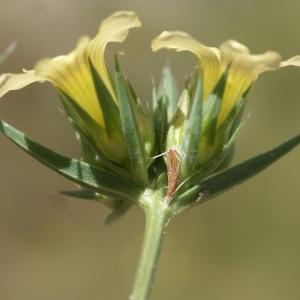 Photographie n°1500526 du taxon Linum strictum L.