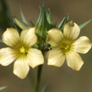 Photographie n°1500530 du taxon Linum strictum L.