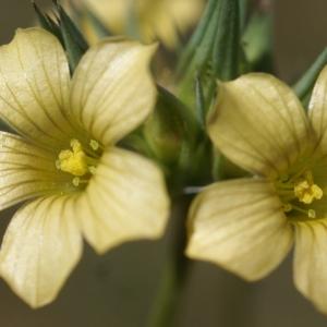 Photographie n°1500536 du taxon Linum strictum L.