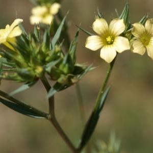 Photographie n°1500537 du taxon Linum strictum L.