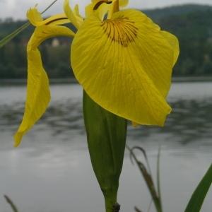 Photographie n°1506640 du taxon Iris pseudacorus L. [1753]