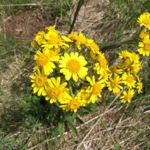 - Senecio spathulifolium (C.C.Gmel.) Griess. [1836]