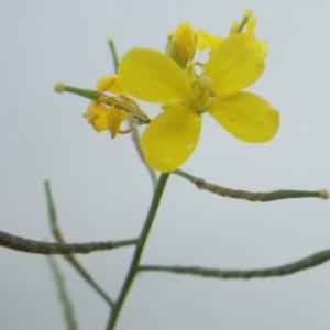 Brassica procumbens (Poir.) O.E.Schulz (Chou couché)