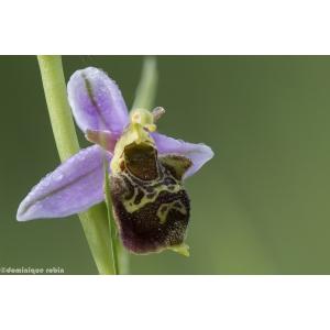 Ophrys x albertiana E.G.Camus (Ophrys d'Albert)