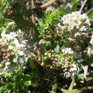 Lepidium hirtum subsp. oxyotum (DC.) Thell. (Passerage)