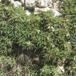 Photographie n°1531917 du taxon Astragalus greuteri Bacch. & Brullo [2006]
