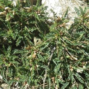 Photographie n°1531920 du taxon Astragalus greuteri Bacch. & Brullo [2006]