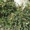 Liliane Roubaudi - Astragalus greuteri Bacch. & Brullo [2006]