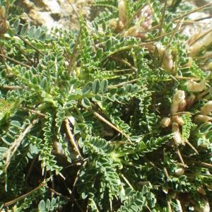 Photographie n°1531930 du taxon Astragalus greuteri Bacch. & Brullo [2006]