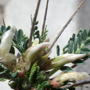 Photographie n°1531939 du taxon Astragalus greuteri Bacch. & Brullo [2006]