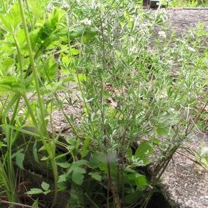 Photographie n°1532180 du taxon Lotus dorycnium L.