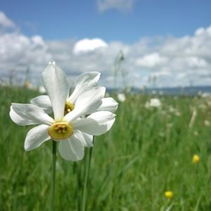 Narcissus poeticus L. (Narcisse des poètes)