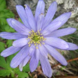 Photographie n°1533100 du taxon Anemone apennina L. [1753]