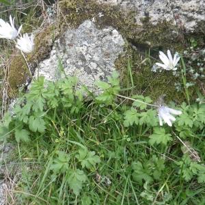 Photographie n°1533105 du taxon Anemone apennina L. [1753]