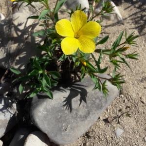 Linum campanulatum L. (Lin campanulé)