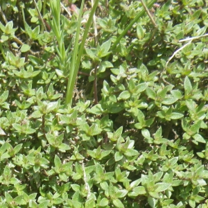 Photographie n°1545225 du taxon Thymus herba-barona Loisel.