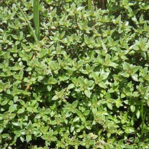 Photographie n°1545237 du taxon Thymus herba-barona Loisel.
