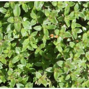 Thymus herba-barona Loisel. (Thym de Corse)