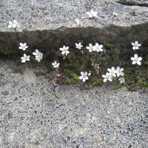 Photographie n°1545846 du taxon Arenaria balearica L. [1768]