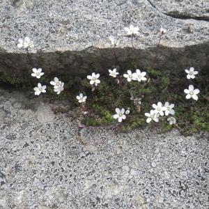 Photographie n°1545855 du taxon Arenaria balearica L. [1768]