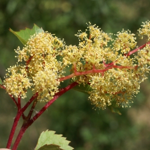 Vitis vinifera L. (Vigne)