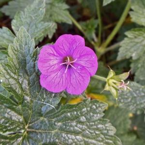 Photographie n°1552924 du taxon Geranium palustre L.