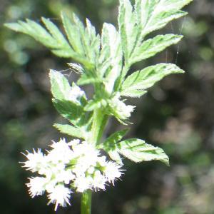 Torilis nodosa subsp. webbii (Jury) Kerguélen (Torilis de Webb)
