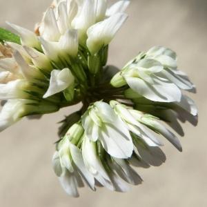 - Trifolium repens L. [1753]