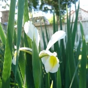 Photographie n°1555793 du taxon Iris pseudacorus L. [1753]