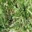 Plantago lanceolata L. [nn49948] par hubert.crinoides69@... le 24/05/2017 - Villeurbanne