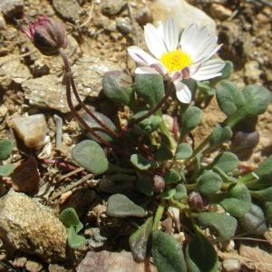 Photographie n°1556449 du taxon Bellium bellidioides L. [1771]