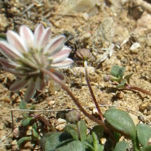 Bellium bellidioides L. (Fausse Pâquerette)