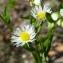 Erigeron annuus (L.) Desf. [nn24864] par hubert.crinoides69@... le 24/05/2017 - Villeurbanne