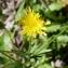 Crepis foetida L. [nn19654] par hubert.crinoides69@... le 24/05/2017 - Villeurbanne