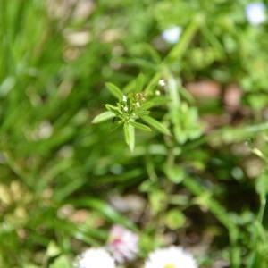 Photographie n°1561672 du taxon Galium aparine L.