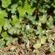 Geranium rotundifolium L. [nn30056] par Céline CAMPOY le 29/03/2017 - Grenoble