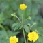 Ranunculus repens L. [nn55340] par Céline CAMPOY le 29/03/2017 - Grenoble